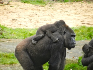 Big mama carries her baby