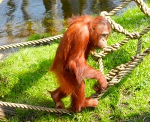 One of the most entertaining beasts around...the orangutan