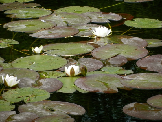 The delicate water lilies in real life