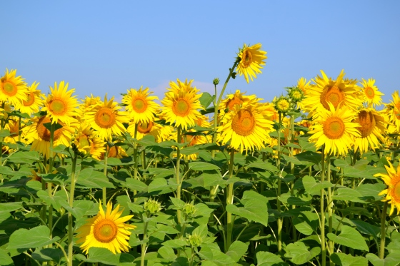fields of sunflowers burst in glorious color in July