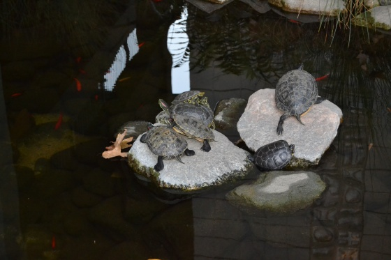 Turtles sunning themselves at Azusa campus