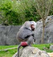 The color baboons