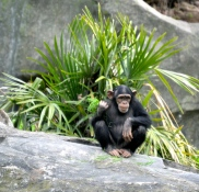 Chimpanzees are always a crowd pleaser