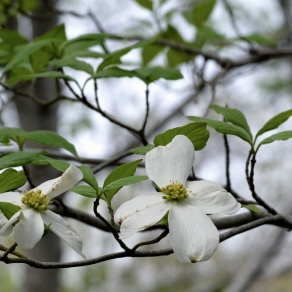 North Carolina's flower: the dogwood