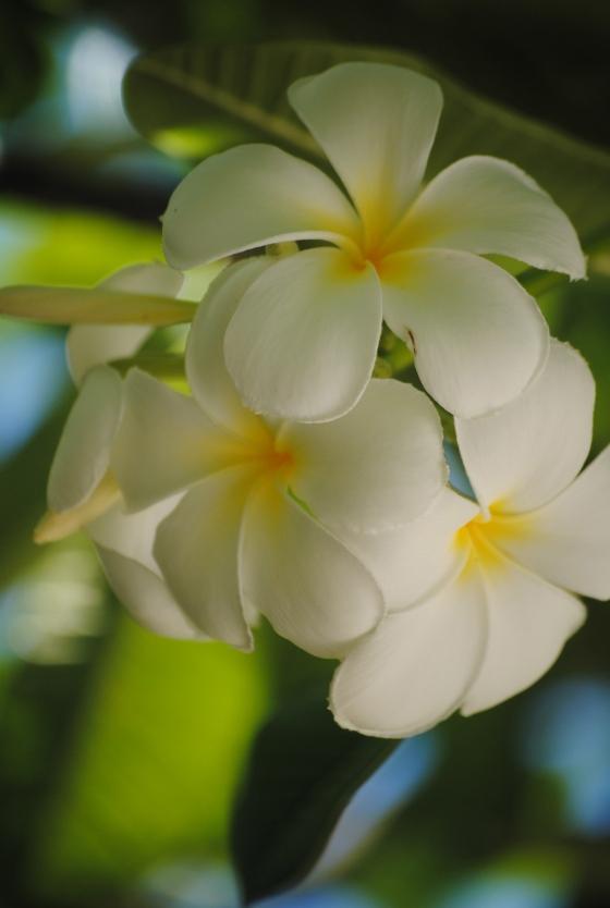 plumeria-hawaii