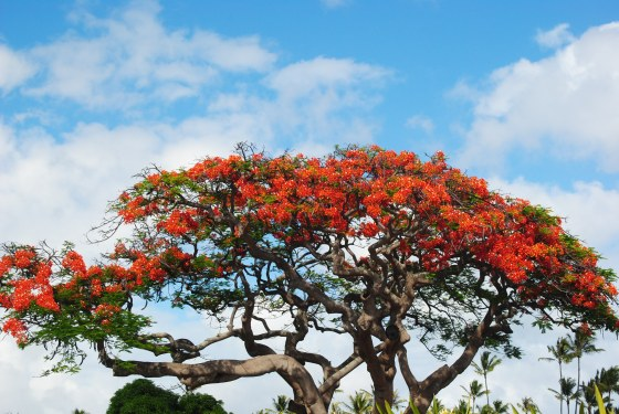 hawaii-tree-in-bloom