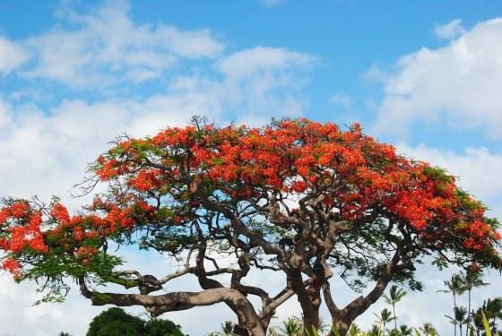 hawaii-tree-in-bloom