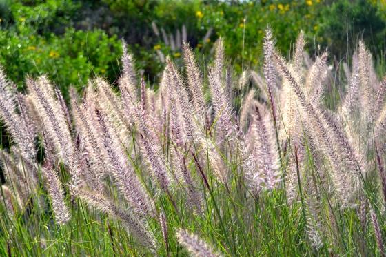 california-grasses