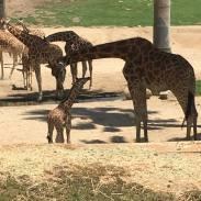 lauren giraffe